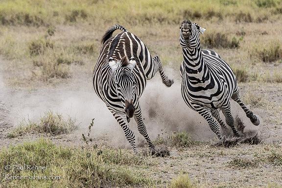 Zebras Fighting Near Miss-9136