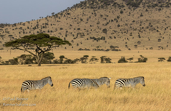 Zebras Walking in Serengeti-8734