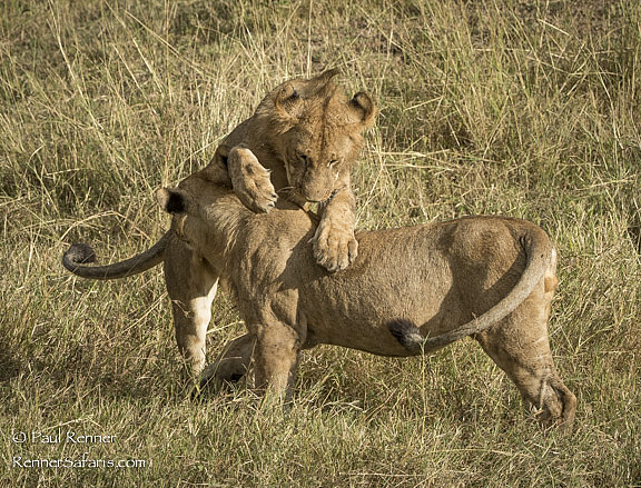 Adolescent Lions Playing-7194
