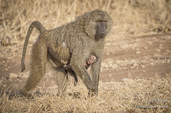 Baboon Carrying Baby-4372