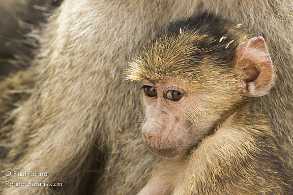 Baby Olive Baboon-5759