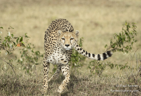 Cheetah-The Chase Begins -6408