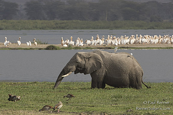 Elephant, Pelicans and Geese in Marsh-5843