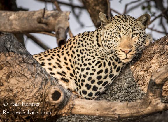 Leopard on a Limb-9766