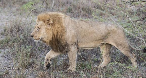 Lion Prowling-9465