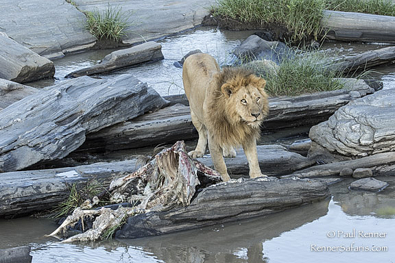 Lion on a KIll in the Talek River-8325