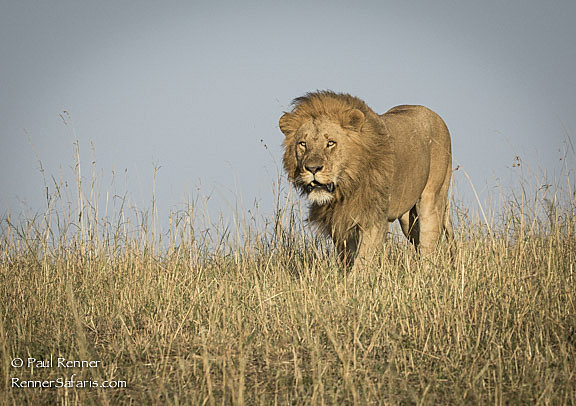 Lion's  Early Morning Stroll in the Masai Mara-8355