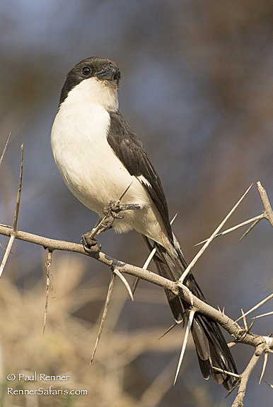 Long Tailed Fiscal-5952