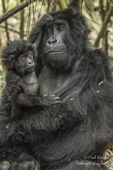 Mother and Baby Mountain Gorilla-