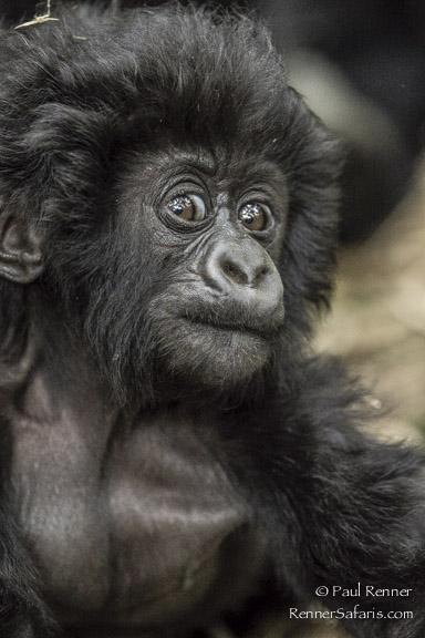 Playful Baby Mountain Gorilla-9627