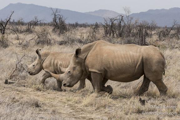 Rhino and Calf-8634