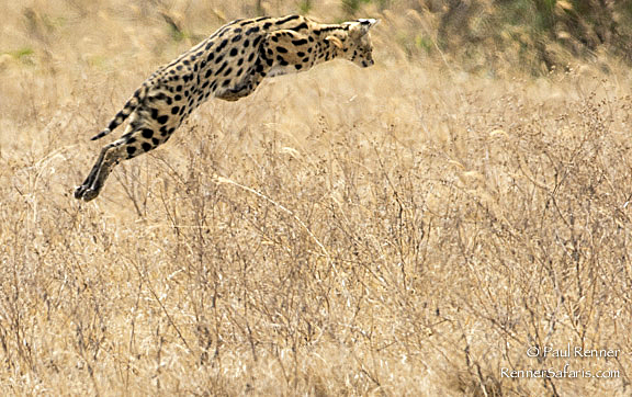 Serval Cat Leaping -5232