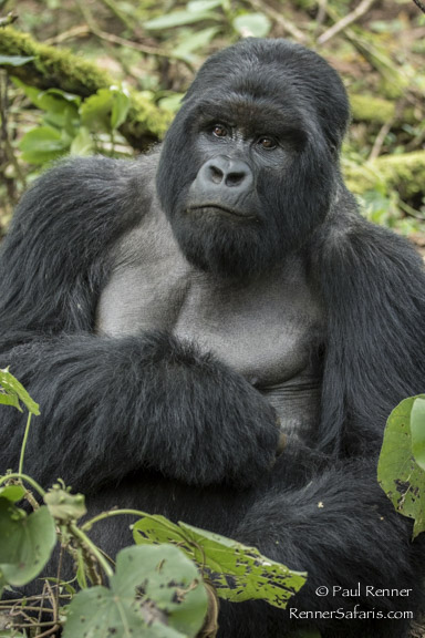 Silverback Mountain Gorilla-9187