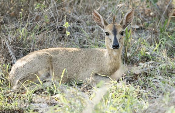 Steenbok Resting-2408