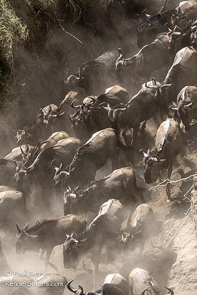 Wildebeest in River Bed-7327