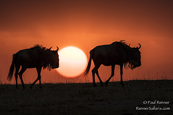 Wildebeest in the Setting Sun-