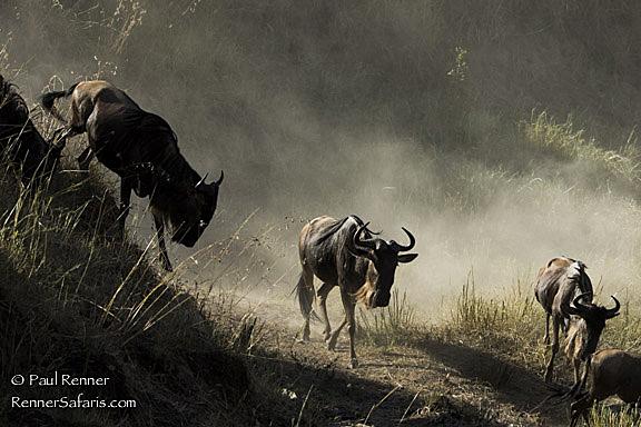 Wildebeest on the Move-8500