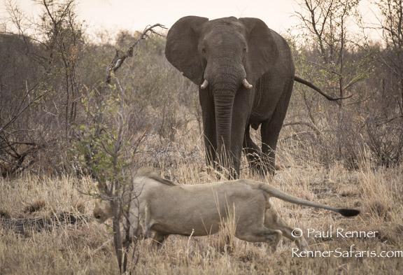 Elephant Chasing Lion-9074