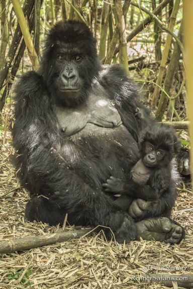 Female and Baby Mountain Gorilla-