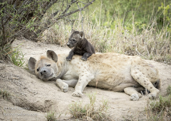 Hyena and Pup-2681