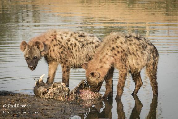Hyenas Eating Wart Hog Bones-2323