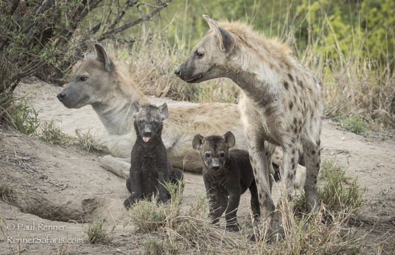 Hyenas with Pupies-2658