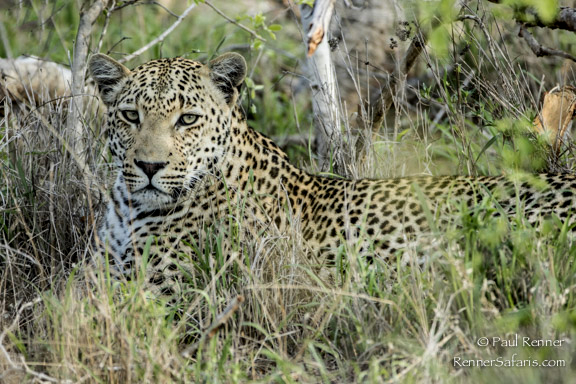 Leopard Lying in the Grass-1128