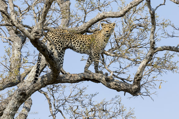 Leopard in Search of a Meal-0194
