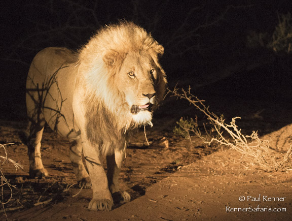 Male Lion at Night-8851