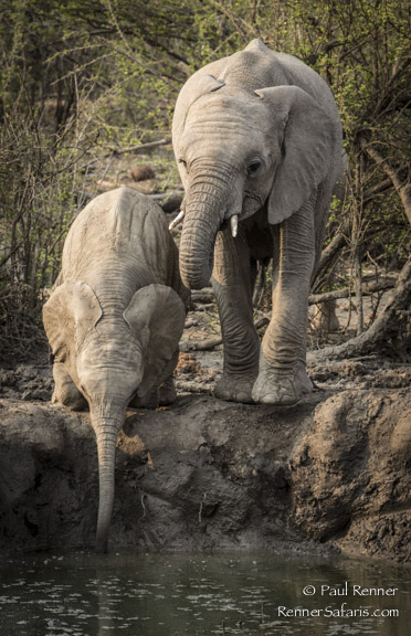 Young Elephants Drinking-0080