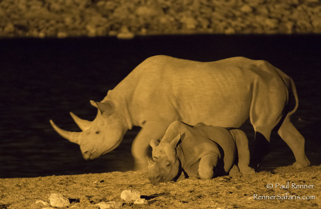 Black Rhino Calf and Mother, Namibia-