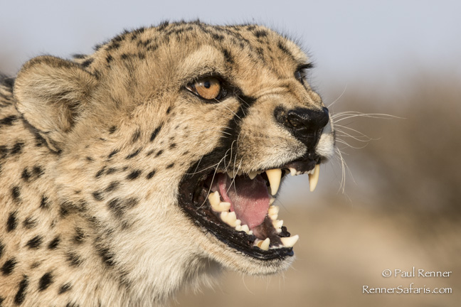 Cheetah Snarling-1035