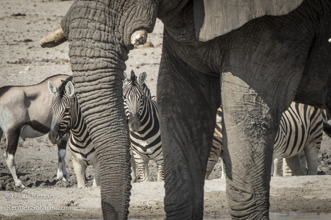 Elephant Scratching Ear, Namibia-9274