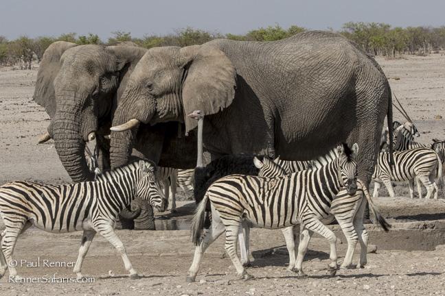 Elephant, Zebra, Ostrich, Namibia-9317