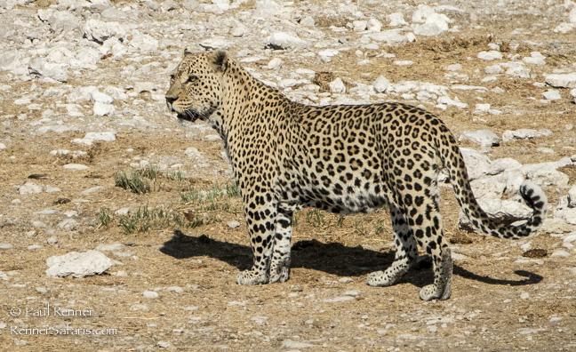Leopard, Namibia-7862