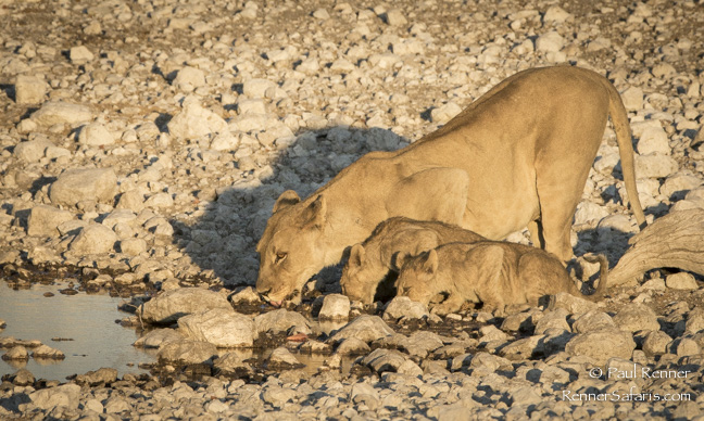 Lioness Drinking with Cubs, Namibia-7179