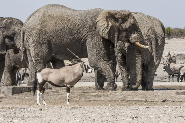 Oryx and Elephant, Namibia-9089