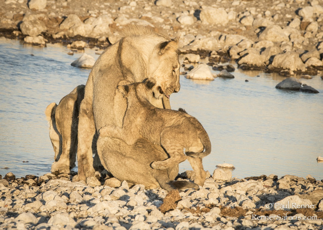 Playful Lion Cubs, Namibia-7221