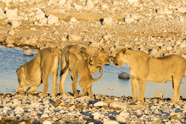 Playful Lions, Namibia-7244
