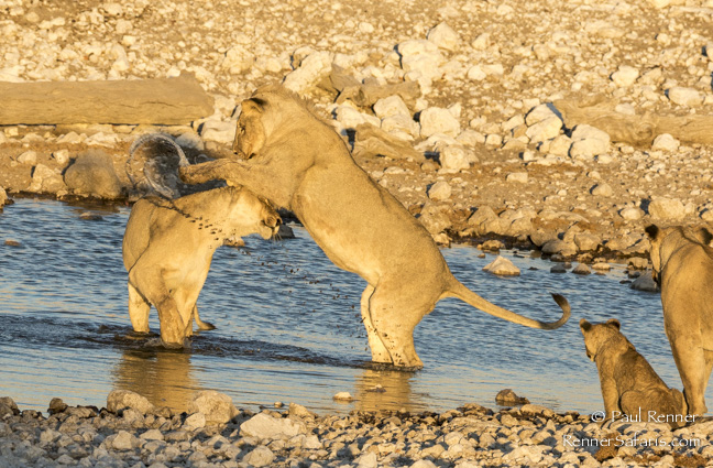 Playful Lions, Namibia-7274