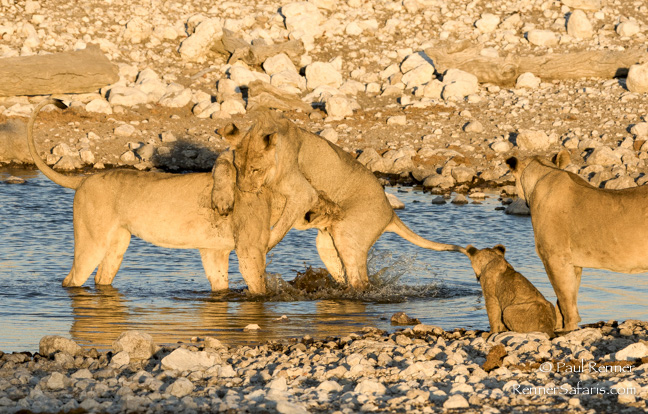 Playful Lions, Namibia-7287