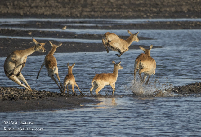Red Lechwe Leaping and Jumping, Namibia-2254