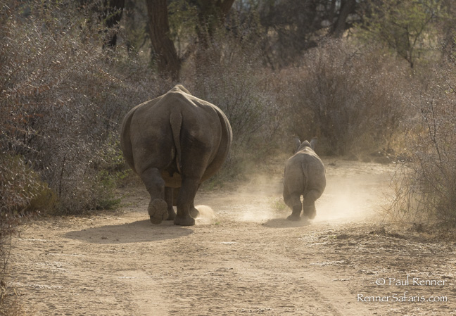 Rhinos on the Road-0494