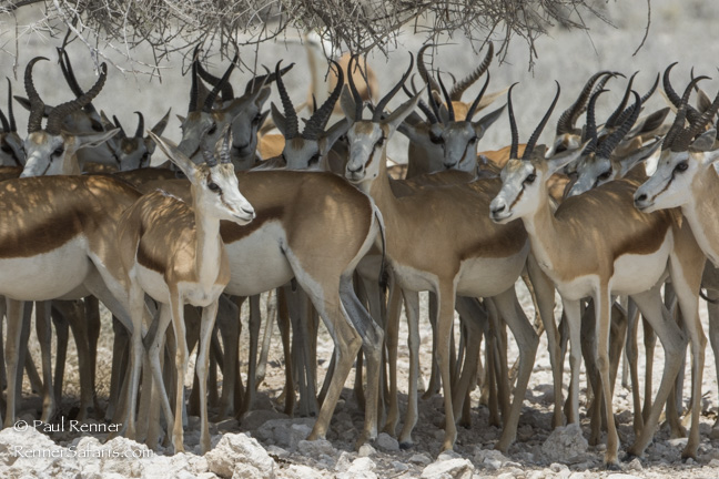 Springbok Enjoying Shade, Namibia-9035
