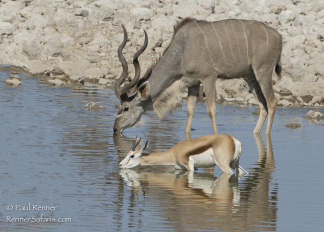 Springbok and Greater Kudu Drinking, Namibia-