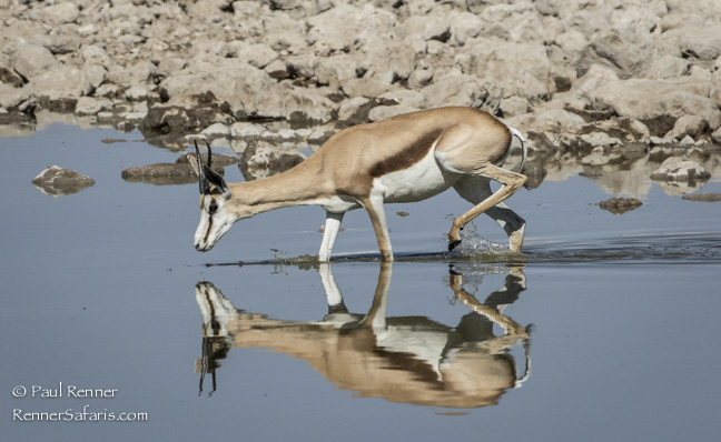 Springbok and Greater Kudu Drinking, Namibia-7609