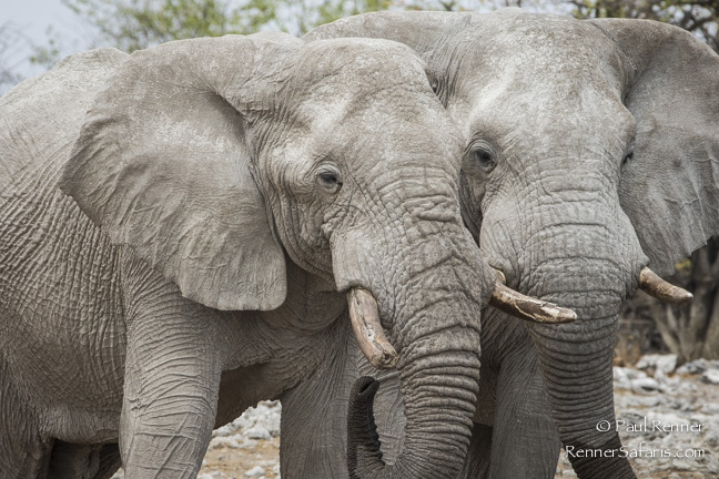 Two Elephants, Namibia-8665
