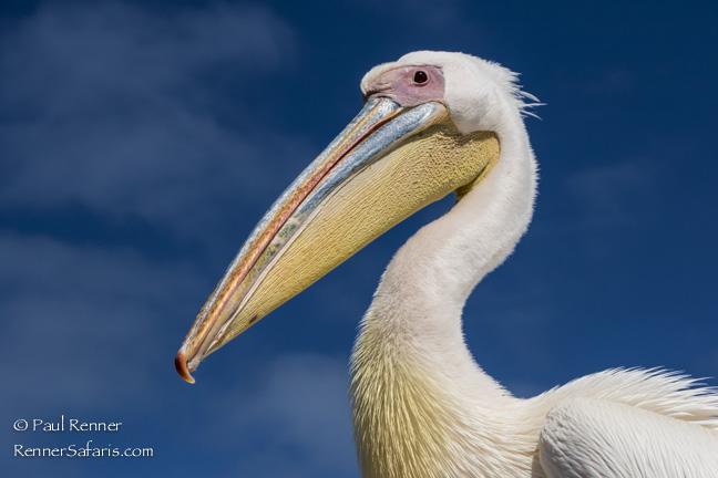White Pelican, Namibia-5607