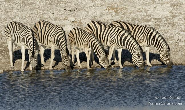 Zebras Drinking, Namibia-7094