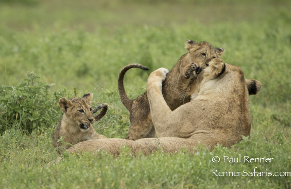 Cub Playing with Mom-0529